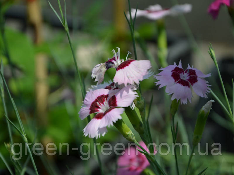 Гвоздика-травянка  белая