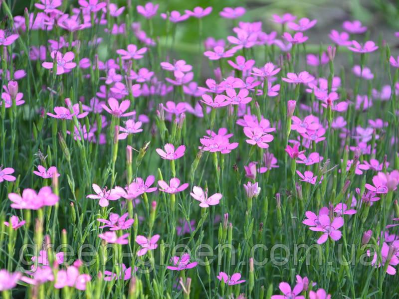 Гвоздика-травянка  малиновая