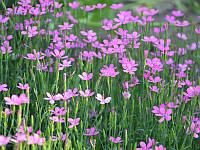 Гвоздика-травянка  малиновая, фото 1