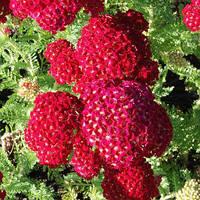 Тысячелистник Pomegranate