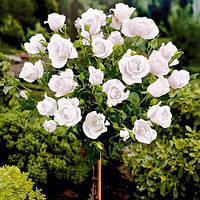Саженцы штамбовой Белая wielkokwiatowa