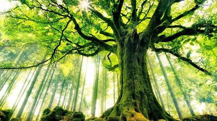 Достоинства древесины, ясеня, дуба, ольхи, сосны