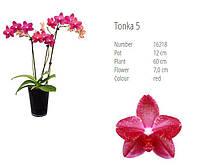 Уценка Подростки орхидеи. Сорт Tonka 5, размер 1.7