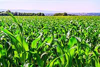 Система удобрення кукурудзи . По-елементний розбір необхідного для вирощування культури