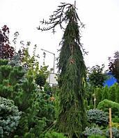 Ель европейская Picea abies Inversa С100 h2+м