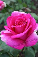 Дуфтрауш Саженцы чайно-гибридных роз