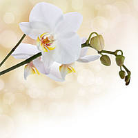 Фотошпалери ArtWalls Фотошпалери: Білі орхідеї flowers00049 Глянець