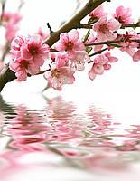 Фотошпалери ArtWalls Фотошпалери: Сакура над водою flowers00067 Глянець