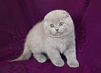 Лиловые вислоухие котята