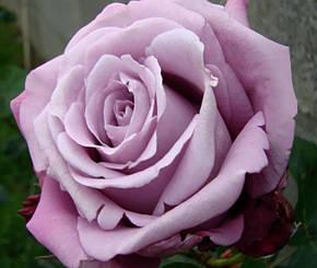 Роза Блю Парфюм (Blue Parfum) Ч/Г, фото 2