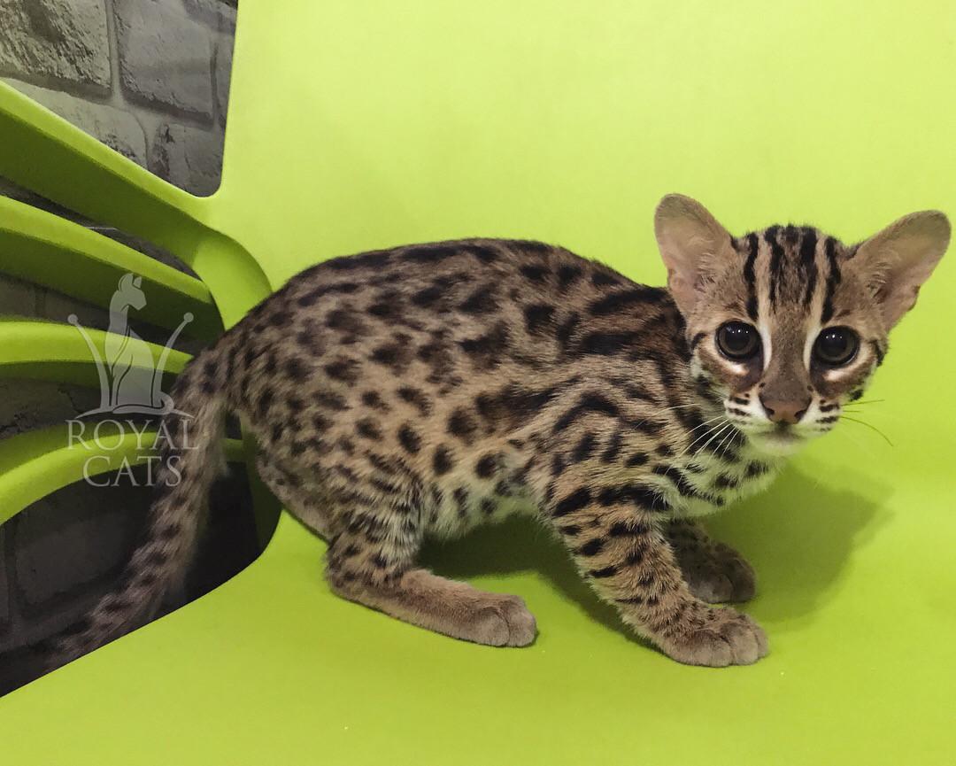 Мальчик. Азиатский леопардовый котёнок питомника Royal Cats.