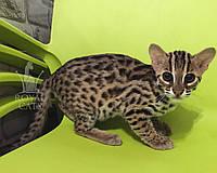 Мальчик. Азиатский леопардовый котёнок питомника Royal Cats., фото 1