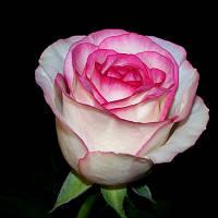 Саджанці троянд Дольче Віта