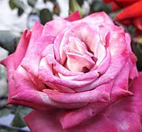Саджанці троянд Pink Cloud