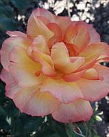 Саджанці плетистої троянди  Polka Babochka