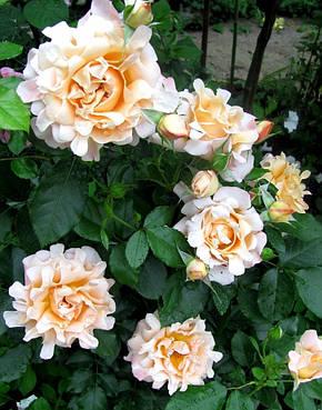 Роза Раффлз Дрим (Ruffles Dream) Флорибунда, фото 2