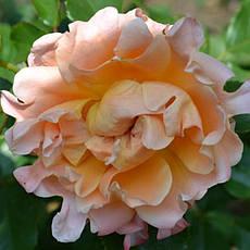Роза Раффлз Дрим (Ruffles Dream) Флорибунда, фото 3
