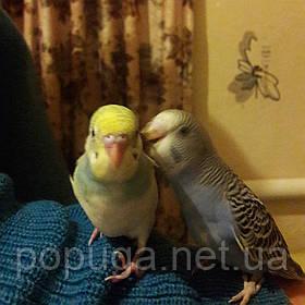Перетримування вашого папуги