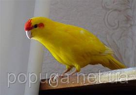 Попугай Какарик (Новозеландский попугай) жёлтый