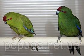 Какарик, Прыгающий попугай (Новозеландский попугай)