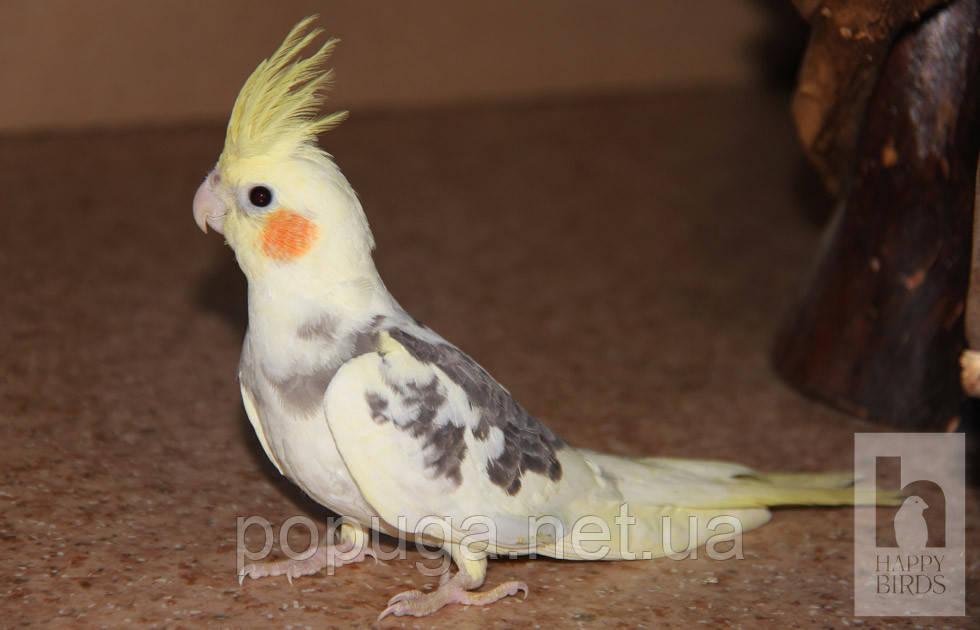 Папуга Корелла (від 2 міс.)