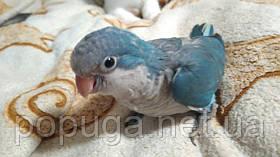 Попугай Калита, Монах (Квакер) синий