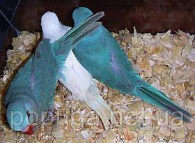 Ожереловый попугай Синий