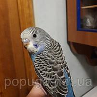 Волнистый попугай выкормиш, 1 мес., фото 2