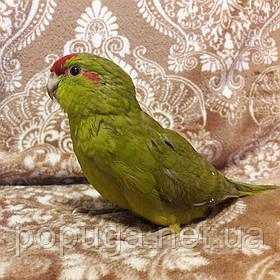 Попугай Какарик