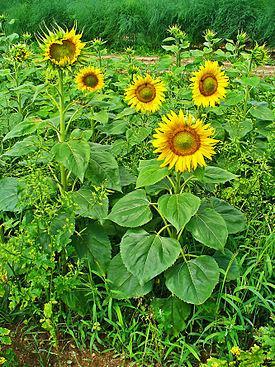 Элементы питания, необходимые для роста и развития подсолнечника