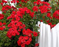 Саджанці плетистої троянди червоної Family Red
