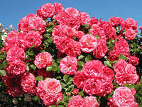 Саджанці плетистої троянди Pink