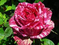 Саджанці троянд Пінк Інтуішн