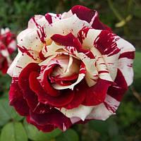 Саджанці троянд Flash Night (Флеш Найт)