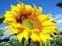 Семена подсолнечника СУР, Вегетация 80-85дней. Сорт Сур для двух урожаев за год.