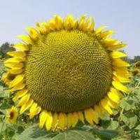Супер ультраранний сорт Сур, 80-85 дней, Подсолнечник Сур сорт для позднего посева.