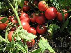 Семена томата Тарпан F1 1000 семян Nunhems