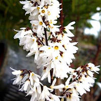 Абелиолистник, форзиция белая (Abeliophyllum distichum) 10-15 см, р9