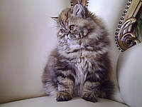 Кошечка тигровая персидская