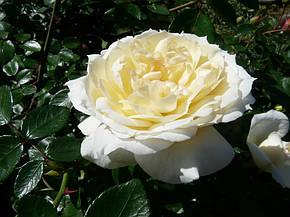 Роза Чайковский (Tchaikovski) Форибунда, фото 2