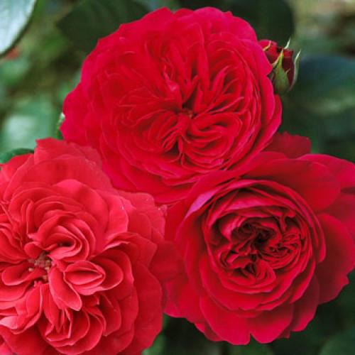 Роза Ред Леонардо да Винчи (Red Leonardo da Vinci) Флорибунда
