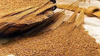 Крупа дикой пшеницы спельты, цельнозерновая,500г