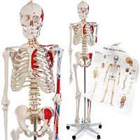 Скелет скилет 181см анатомическая анатомічна модель 200кісто ПОД ЗАКАЗ