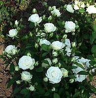 Саджанці троянд Сноу Денс