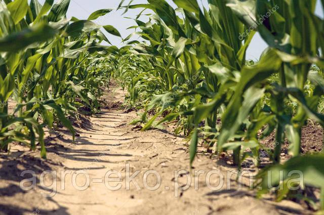 Про важливе - Підживлення кукурудзи Цинком по листу