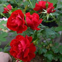 Саджанці троянд грунтопокрівної Аустріана