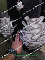 03.06.2018 Фотоотзывы от наших клиентов. Присылайте на наш мейл ztogrib@gmail.com фото Ваших результатов выращивания с нашей продукции (мицелия или готовых блоков) и получите гарантированную скидку при следующем заказе.