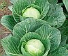 Семена капусты б/к Сир F1 1000 семян Clause