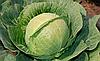 Семена капусты б/к Гардиан F1 1000 семян Clause
