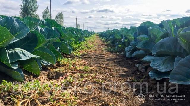 Шкідники завдали чималих збитків овочевим та плодовим культурам